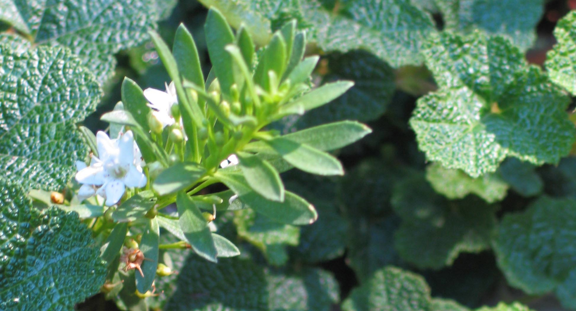 Myoporum and Rubus